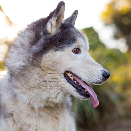 Max - Siberian Husky Dog