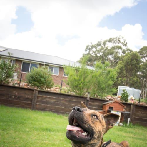 Billy - Staffy Dog