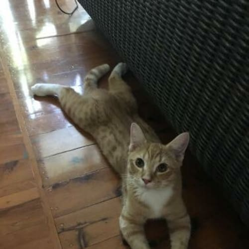 Jimmy - Domestic Short Hair Cat