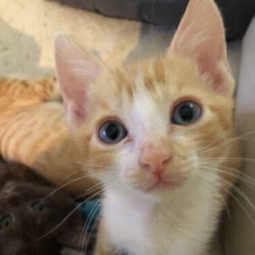 Simpson - Domestic Short Hair Cat