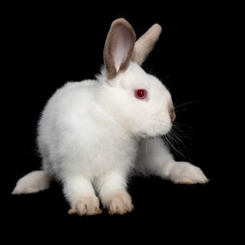 Kurt Cobun -  Rabbit