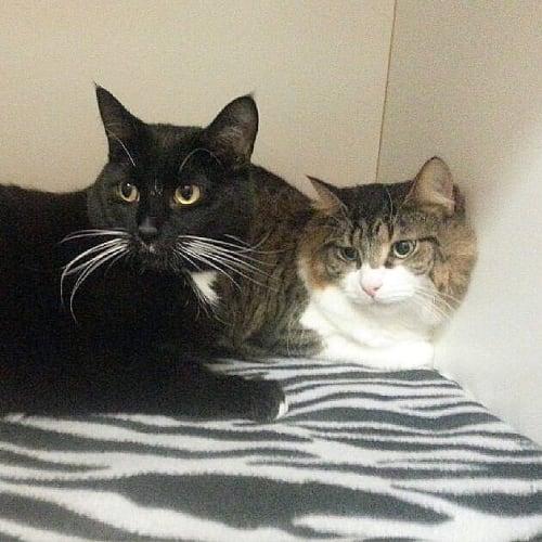 Jimmy & Leo - Domestic Short Hair Cat