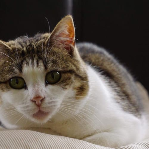 Violet - Located in Bayswater - Domestic Short Hair Cat