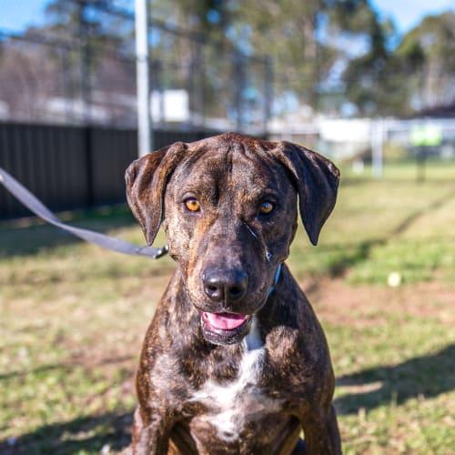 Logan - Mastiff x Staffordshire Terrier Dog