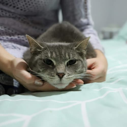 Elizabeth 👑  - Domestic Short Hair Cat