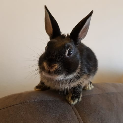 Orlando - Netherland Dwarf x Silver Marten Rabbit
