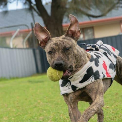 Marla - Staffordshire Bull Terrier X Dog