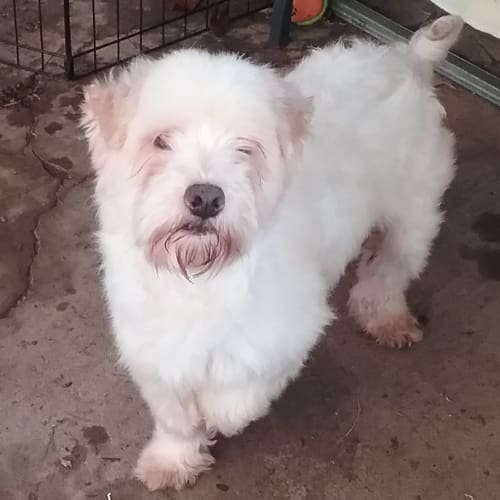 Patch - West Highland White Terrier Dog
