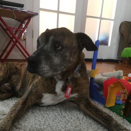 Daxter  - Boxer Dog