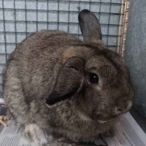 Benny 896147 - Lop Eared Rabbit