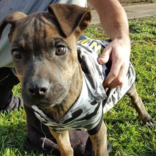 Zues - Great Dane Dog