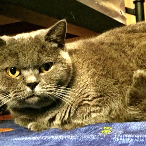 Mimi - British Shorthair Cat