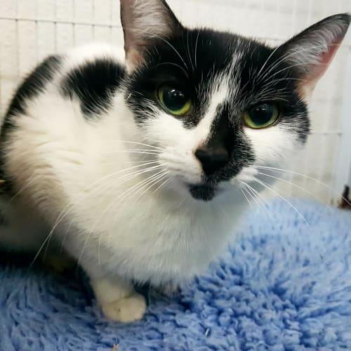 Lisa - Domestic Short Hair Cat