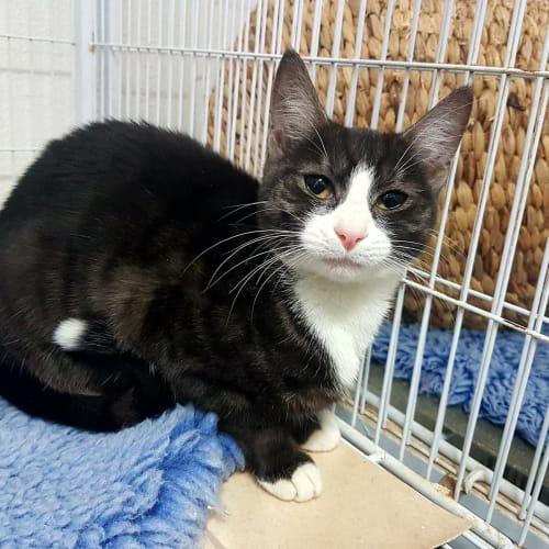 Suzie - Domestic Short Hair Cat