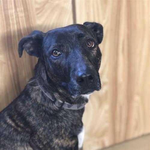 Zena - Bullmastiff Dog