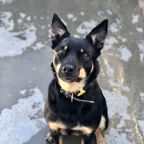 Lila - Kelpie X Dog