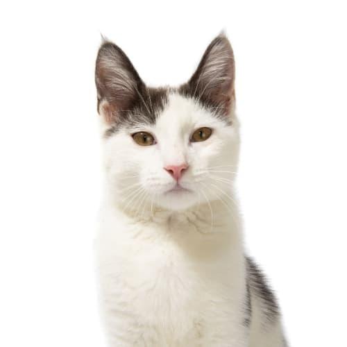 Astro - Domestic Short Hair Cat