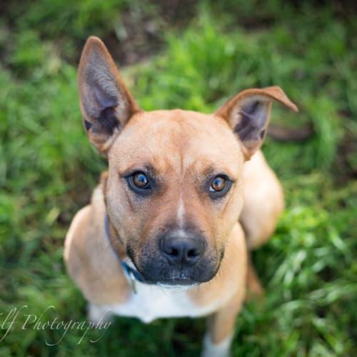 Hepple - Rhodesian Ridgeback x Staffordshire Bull Terrier Dog