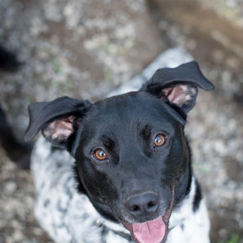 Lexi - Blue Heeler x German Shorthaired Pointer Dog