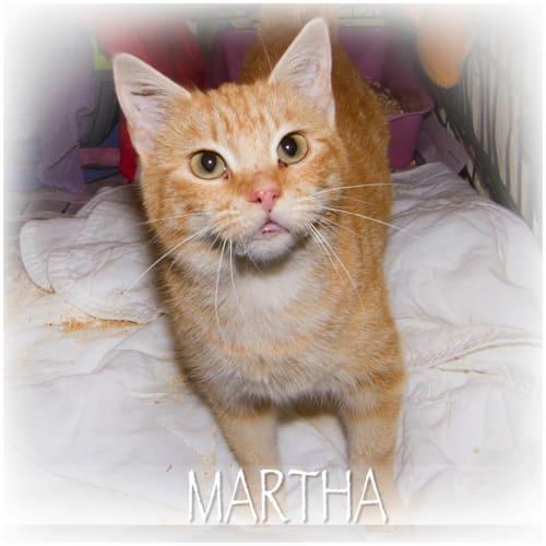 Martha - Domestic Short Hair Cat