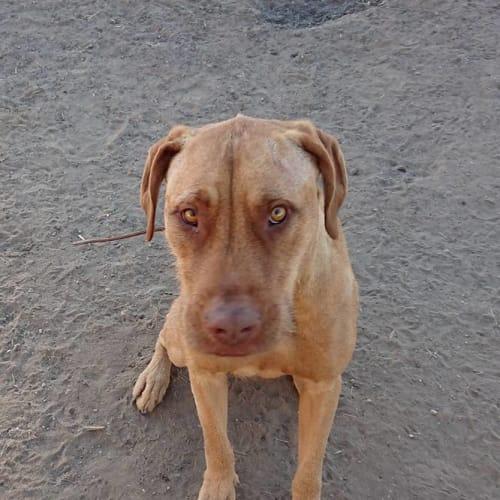 Arlee - Wolfhound Dog