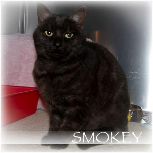 Smokey - Domestic Short Hair Cat
