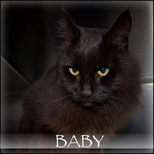 Baby - Domestic Medium Hair Cat