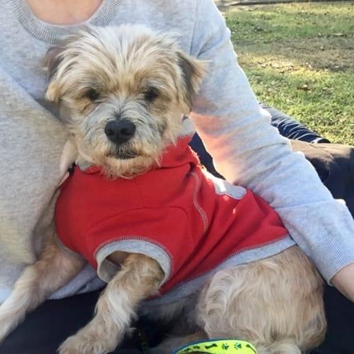George  - Maltese Dog