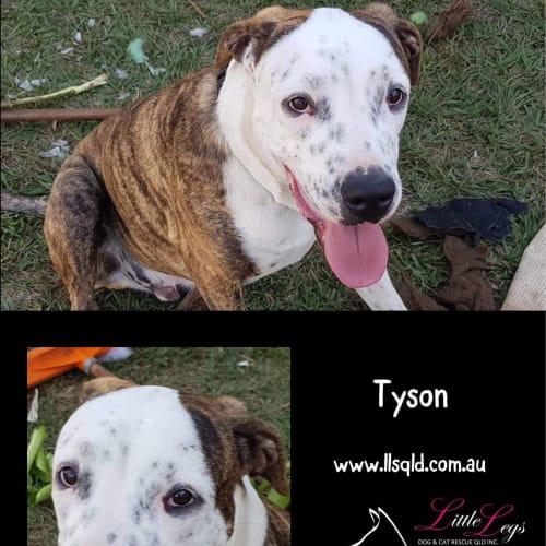 Tyson - Bullmastiff x Catahoula Dog