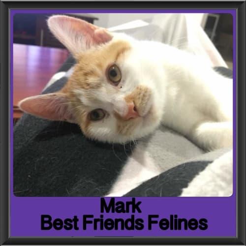 Mark  - Domestic Short Hair Cat