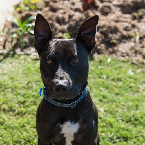 Reggie - English Staffordshire Bull Terrier Dog