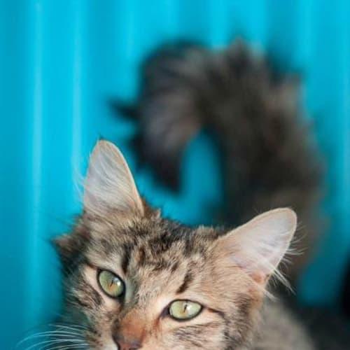 Caroline - Domestic Medium Hair Cat