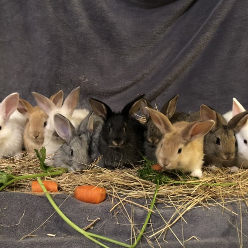 Baby Rabbits -  Rabbit