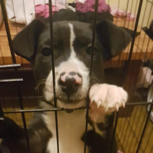 Ajay - Border Collie x Staffy Dog