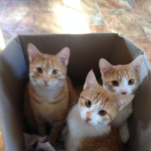 merrick,Elliott&Merlin - Domestic Short Hair Cat