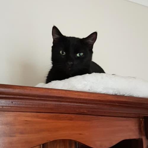 Pandora - Domestic Short Hair Cat
