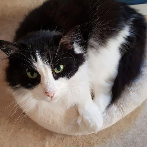Gemma - Domestic Long Hair Cat
