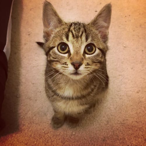 """Larry (""""The Three Stooges"""") - Domestic Short Hair Cat"""