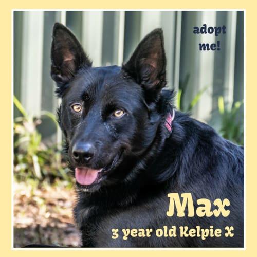 Max ~ 3 year old Kelpie X - Kelpie Dog