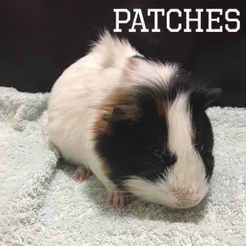 Patches - Smooth Hair Guinea Pig