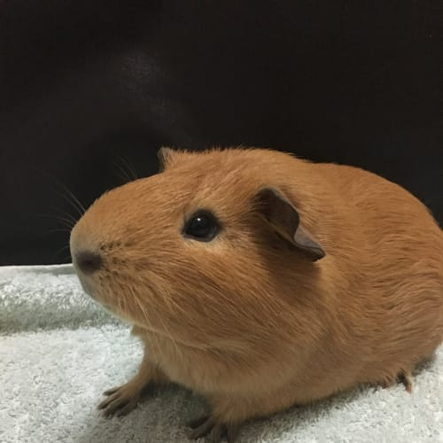 Ginger  - Smooth Hair Guinea Pig