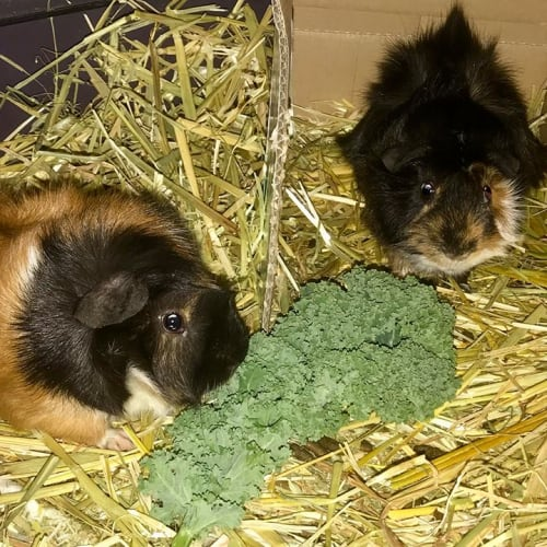 Snickers and Mars -  Guinea Pig