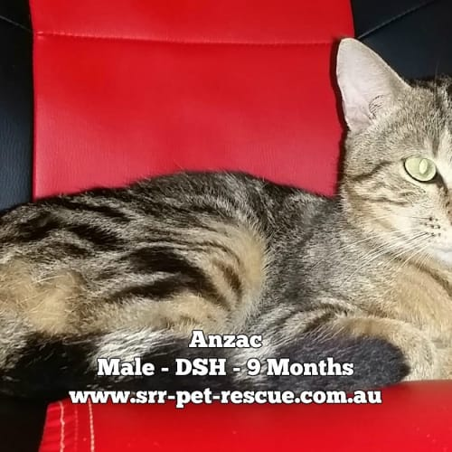Anzac - Domestic Short Hair Cat