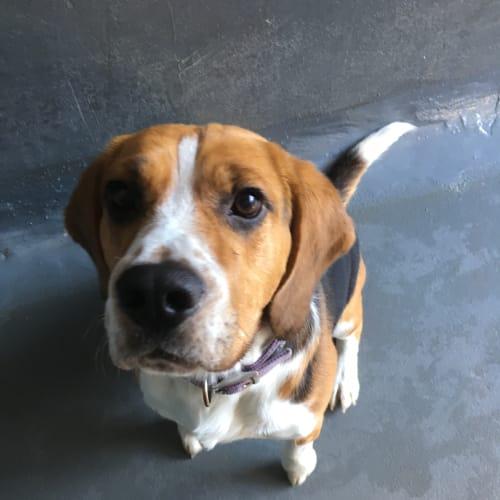 Billy - Beagle Dog