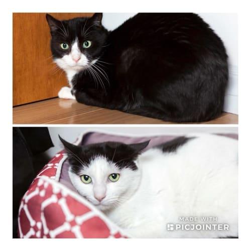 AK0899 & AK0900 – Felix and Thomas - Domestic Short Hair Cat
