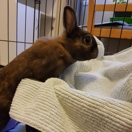 Roderick - Netherland Dwarf Rabbit
