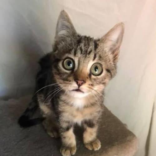 Alex - Bengal Cat