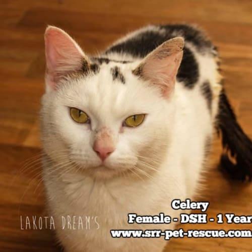 Celery - Domestic Short Hair Cat