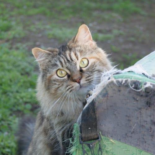 Lila - Domestic Long Hair Cat