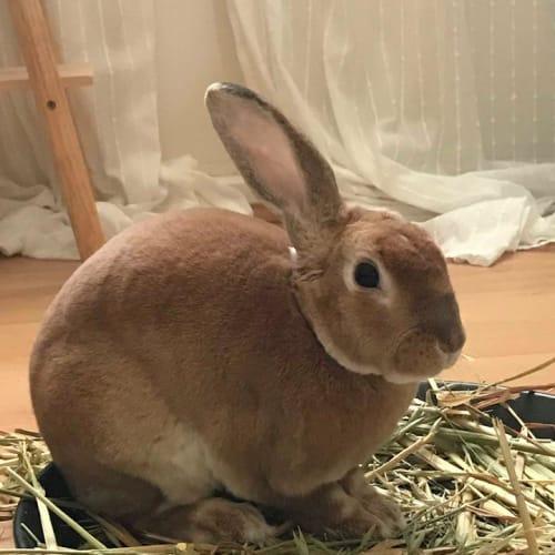 Napoleon - Lop Eared Rabbit